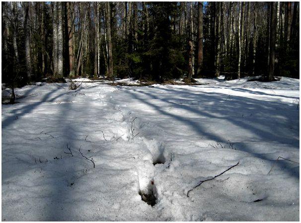 Глухарь на снегу