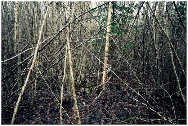 История одного промаха или первый опыт загонной охоты в Латвии