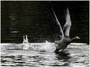 Как добыть гуся весной