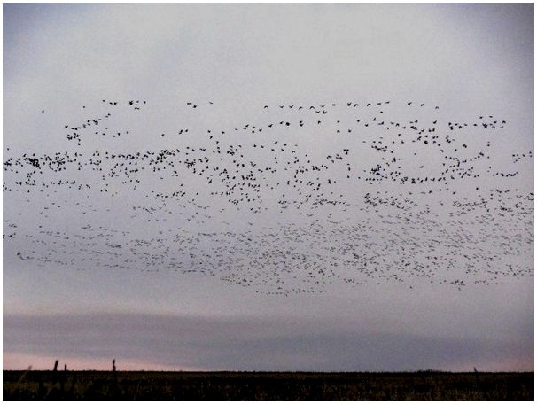 Охота на гусей в Казахстане