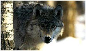 По следам волков