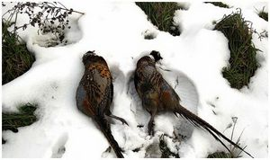 Почему открывают охоту  на фазана  по снегу?
