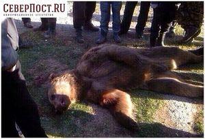 Под Мурманском медведь убил человека