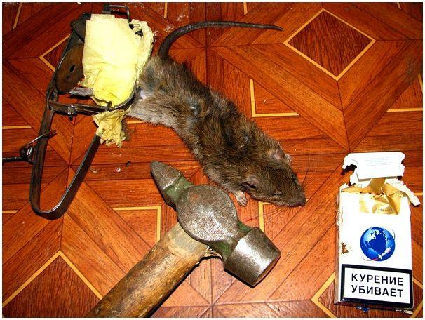 Применение охотничьих навыков в извечной борьбе с грызунами