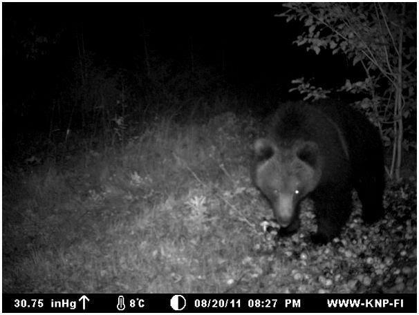 Сентябрьский медведь на яблоках