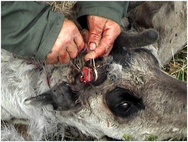 Сколько оленей нужно ненцу?