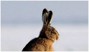 Следы зайцев