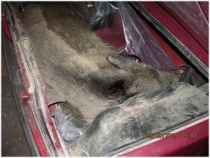 В Беларуси против россиянина, перевозившего убитого дикого кабана возбуждено уголовное дело