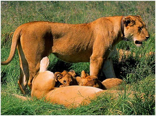 Царственные охотницы