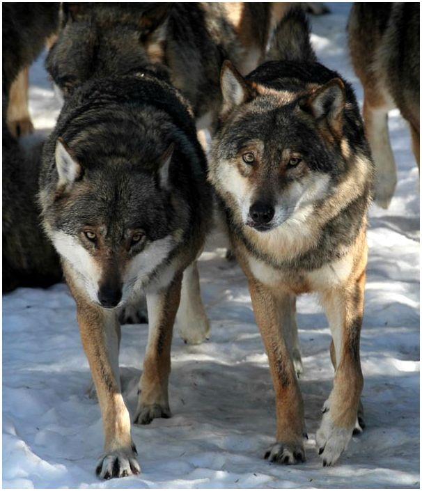 Дуплет по волкам
