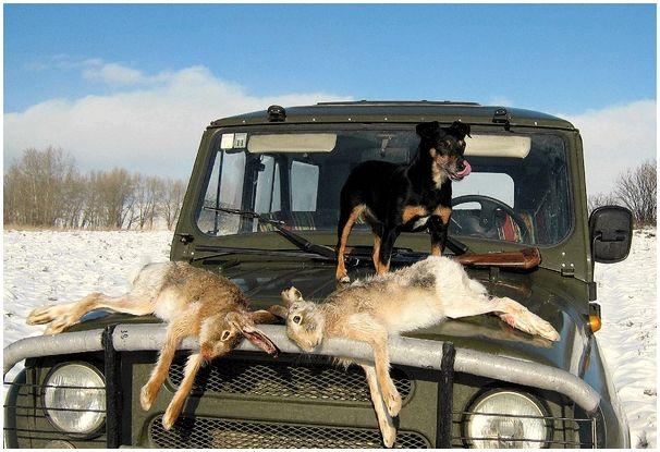 Из опыта охоты на барсука с норной собакой
