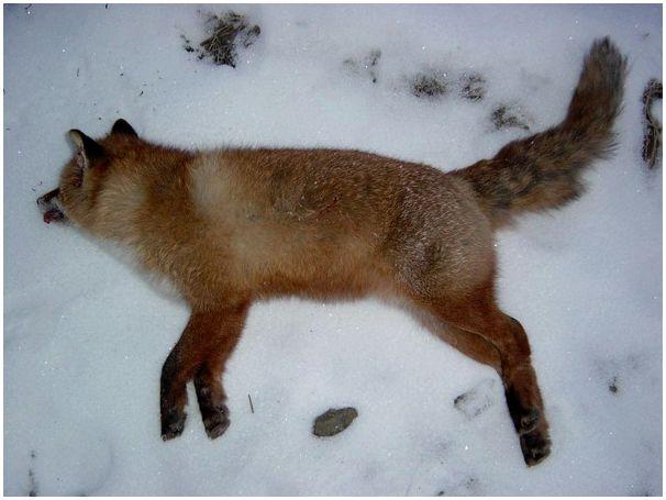 Красный зверь набелом снегу