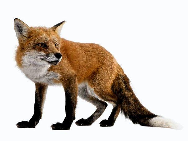 Лиса-лисичка: вижу, но как тебя взять?