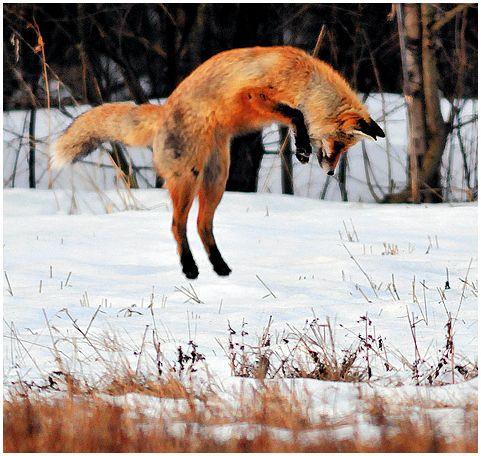 как лиса ловила