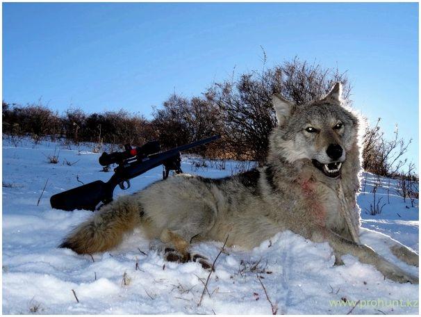 Охота на волка с манком