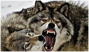 По следам глухого волка