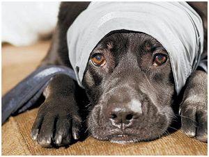 Помощь собаке при травмах на охоте