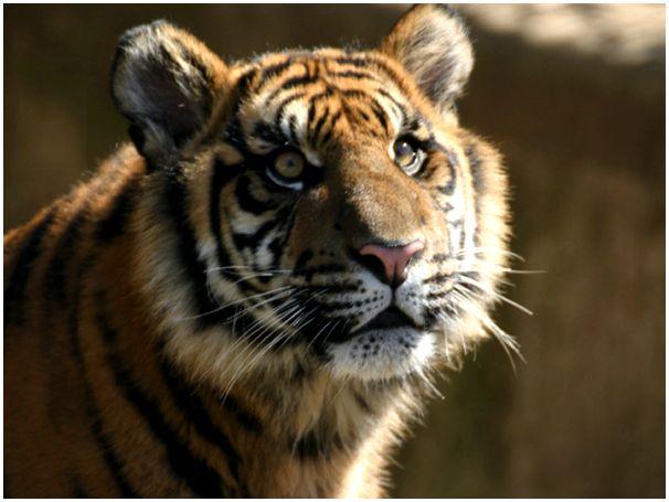 В царство тигра