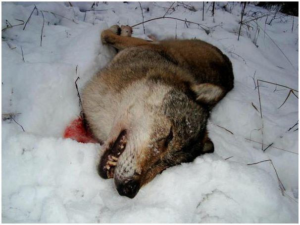 Заглянул на пиршество волков