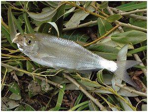 Жемчужная рыба