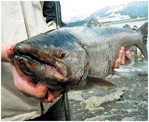 Аляска— штат рыболовный