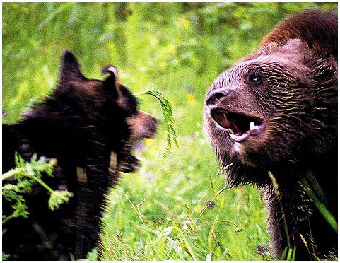 Медведи и люди