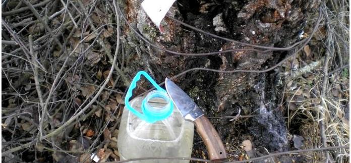 Добыча березового сока. Время, место сбора, хранение и лечебные свойства березового сока.