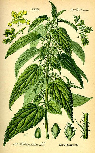 Крапива двудомная, Urtica dioica L, описание, использование при питании и лечении заболеваний в полевых условиях.