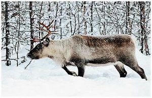 Лиственница – символ сибирской тайги