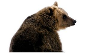 Медвежья лихорадка наДиком Севере