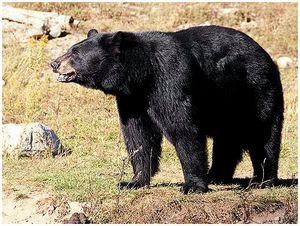Найди свою медведицу