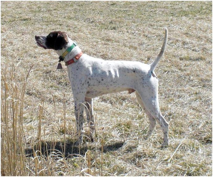 Охотничьи собаки фазана: узнайте, какая порода лучше для вас