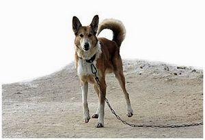 Собака манная