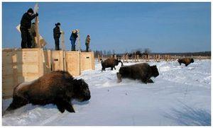 Возвращение лесных бизонов