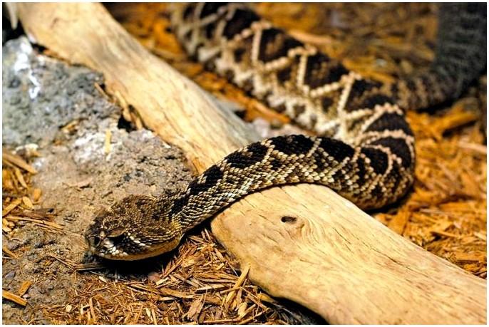 Что делать, если укушена гремучей змеей: как выжить