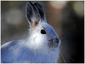 Феномен белого зайца