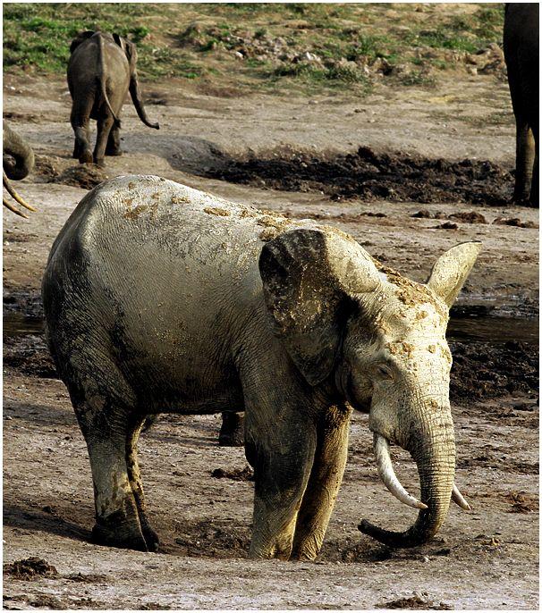Камерун: спигмеями залесным слоном