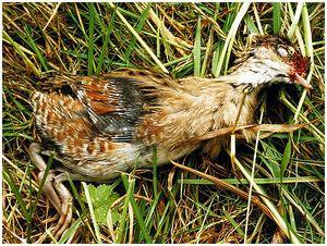 Сенокос уничтожил всех луговых птиц