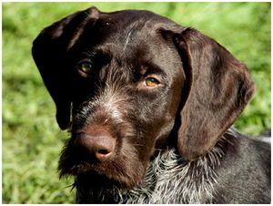 Охотничьи  ли  наши  собаки?