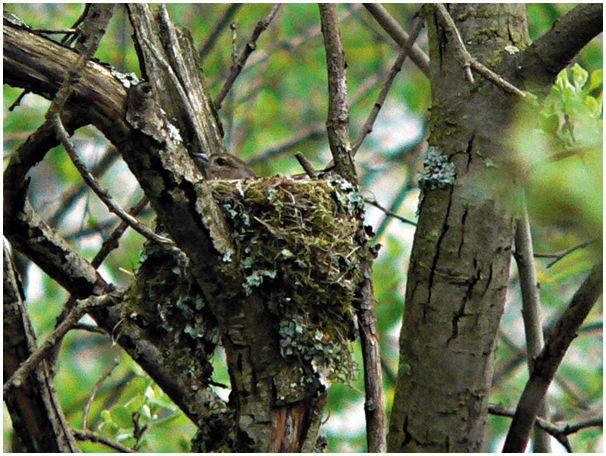 Осторожно:  птицы на гнездах!