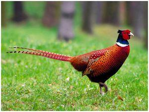Отважный фазан