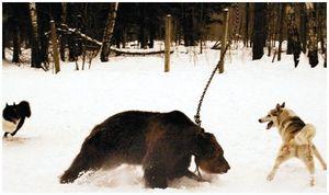 Подсадной медведь и другие
