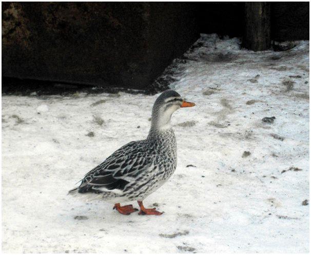 Подсадные утки  на водоемах Москвы