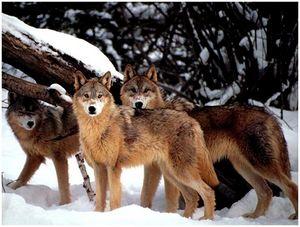 Швеция планирует увеличить отстрел волков