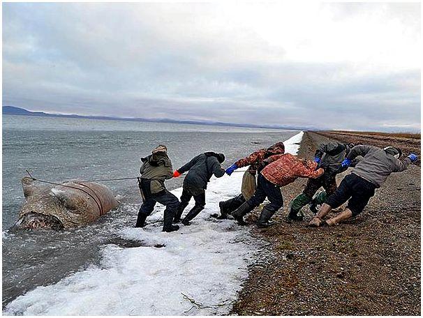 В чукотском национальном парке браконьеры убили 19 моржей