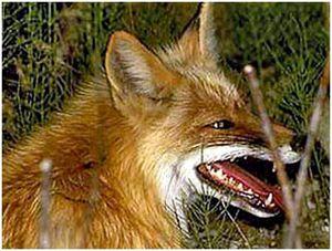 В Татарстане зафиксированы новые случаи бешенства у лисиц