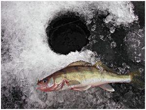 Варианты живцовой ловли в середине зимы