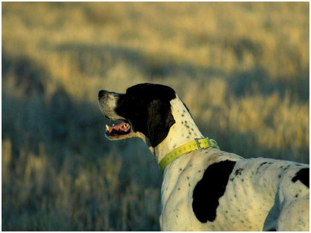 XXXIV чемпионат мира легавых собак