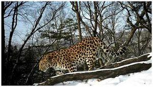 Завершен сезон отлова леопардов и тигров для метки в Приморье