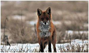 Необычное  поведение лисицы –  аномалия или норма?